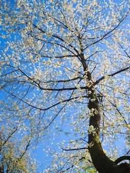Hoge kersenboom bloeit in de lente