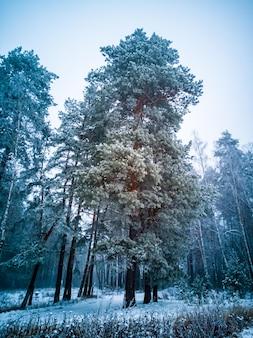 Hoge naaldboom met vorst en sneeuw in mist en sneeuw somber winter naaldbos creatief