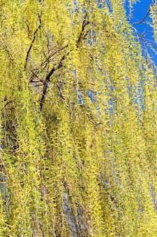 Hoge oude boom met gele weelderige takken tijdens de bloei