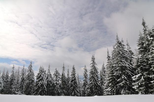 Hoge pijnbomen bedekt met sneeuw in de bergen. winterlandschap, bewolkte hemel, dieren in het wild