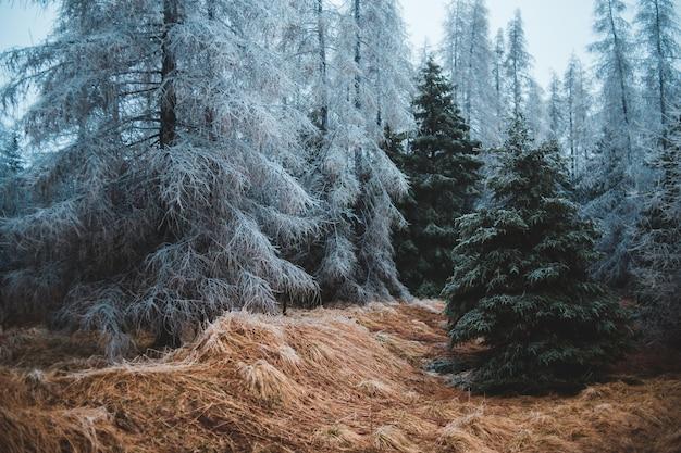 Hoge pijnbomen bedekt met sneeuw