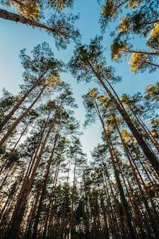 Hoge rechte pijnbomen strekken zich uit naar de hemel