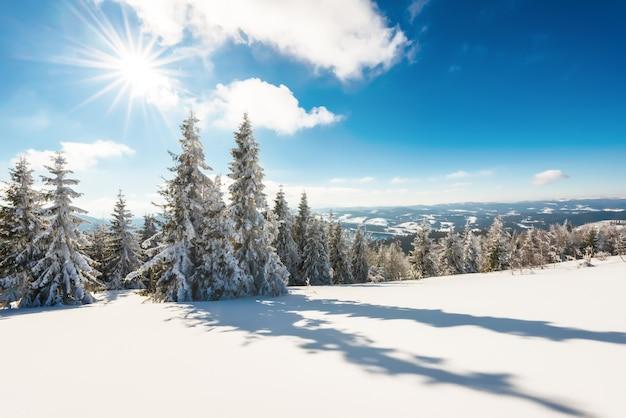 Hoge slanke besneeuwde sparren groeien op een heuvelachtig besneeuwd bos op een zonnige ijzige winterdag