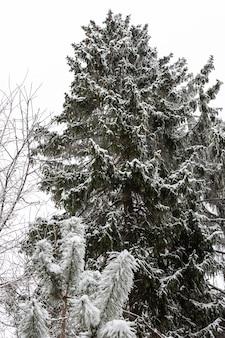 Hoge sparren met kegels en dennen in de sneeuw in de winter