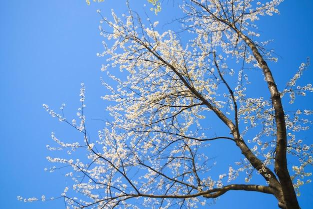 Hoge verspreidende kersenboom die in de lente bloeit