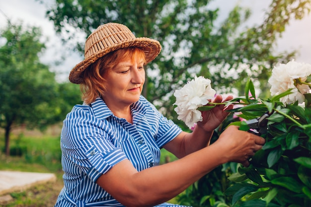 Hogere vrouw die bloemen in tuin verzamelt. oudere gepensioneerde vrouw snijden pioenrozen met pruner. tuinman die van hobby geniet