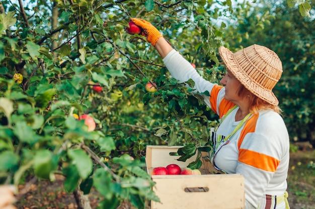 Hogere vrouw die rijpe organische appelen in de zomerboomgaard verzamelt