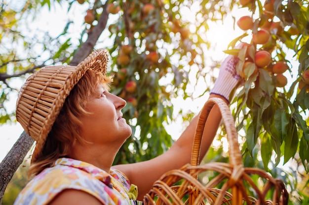 Hogere vrouw die rijpe organische perziken in de zomerboomgaard plukt