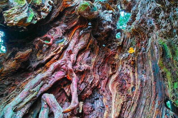 Hol in de stam van opmerkelijke taxusboom in vele kleuren van het hout, in yvignac, bretagne, frankrijk