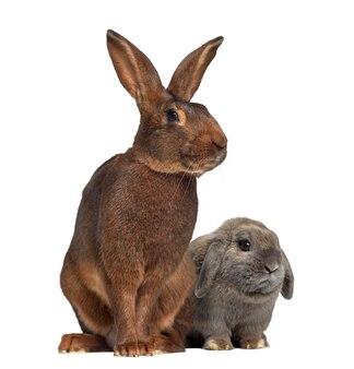Holland snoeit konijn en belgische haas op wit wordt geïsoleerd