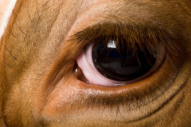 Holstein koe, kijken, close-up op oog