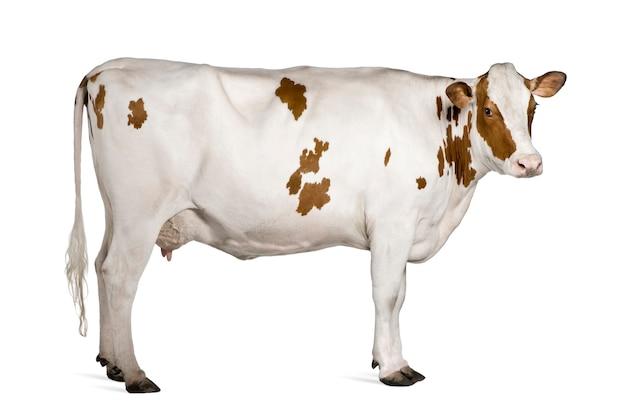 Holstein koe staande