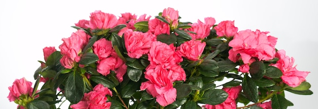 Home plant azalea