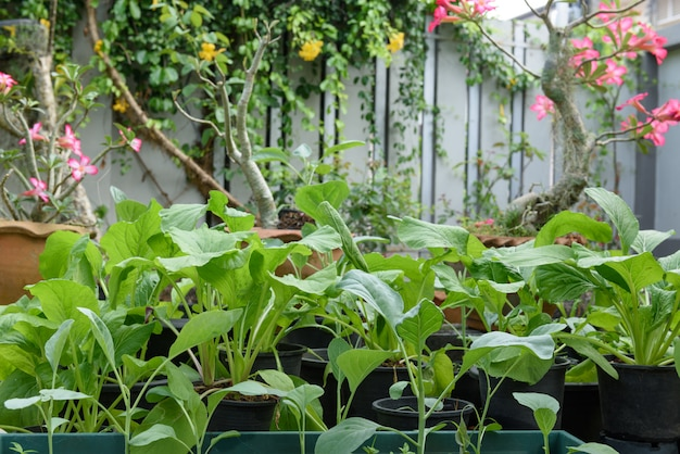 Home plant chinese kool-pai tsai of brassica chinensis jusl var parachinensis (bailey) op pot in de tuin buiten, gezond eten en leven