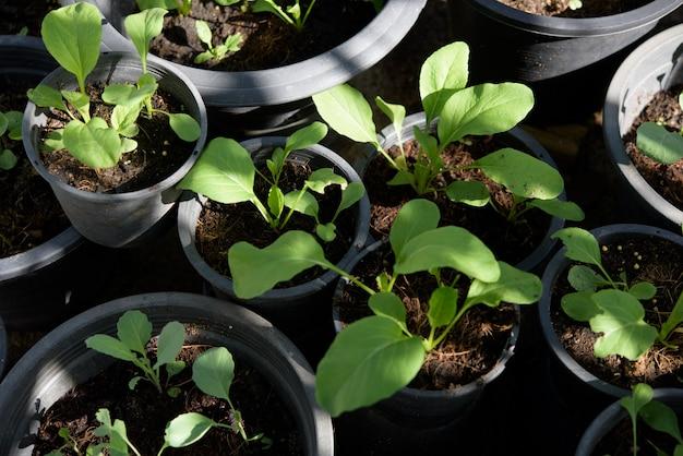 Home plant jonge chinese kool-pai tsai of brassica chinensis jusl var parachinensis (bailey) op pot