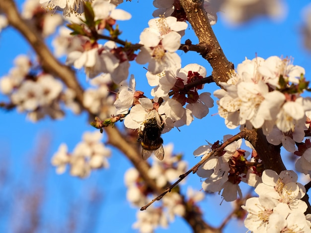 Hommel of bij tegen de blauwe hemel in witte roze bloemen en kersenboomtakken