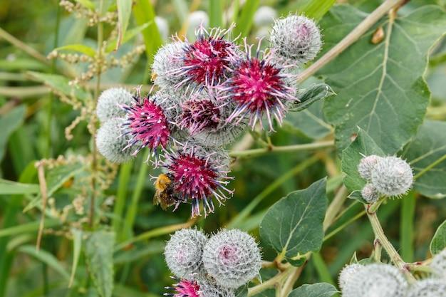 Hommel verzamelt nectar in klisbloem. het insect kruipt over de bloemen
