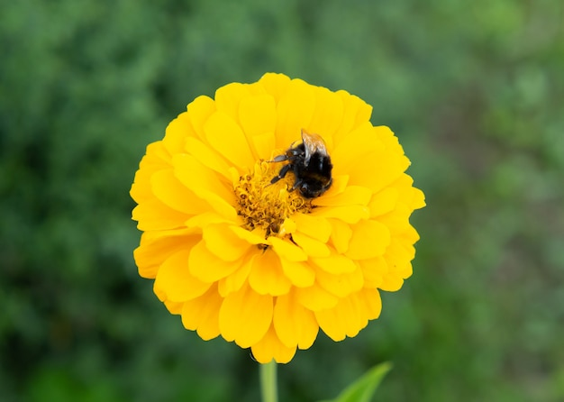 Hommel verzamelt stuifmeel van een mooie gele bloem