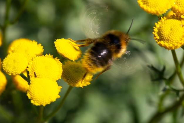 Hommel vliegt naar de bloem. gele bloem van tanacetum vulgare. de vleugels zijn onscherp. op lange termijn genomen. concept - fotofouten, lange belichtingstijd