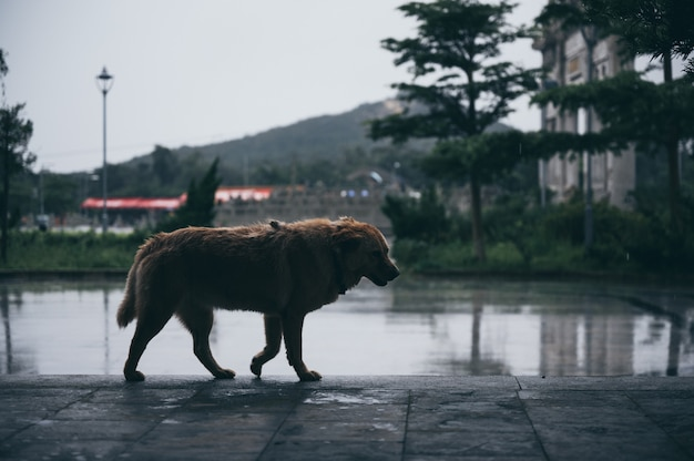 Hond alleen lopen, regen vallen