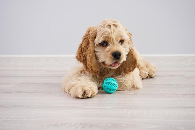 Hond. amerikaans cocker-spaniëlpuppy met een bal op een grijze muur