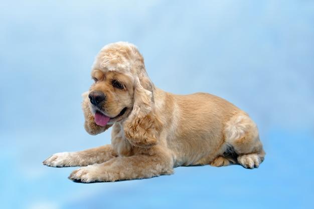 Hond amerikaanse cocker spaniel ligt op een blauwe achtergrond