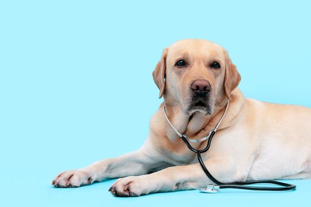 Hond arts met een stethoscoop op zijn nek.