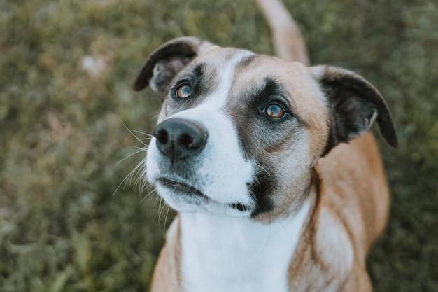 Hond beginnend voor voedsel dat direct kijkt in camera in openlucht