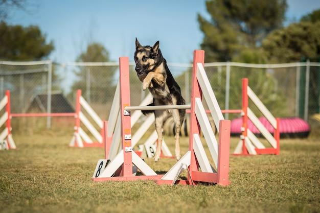 Hond behendigheid