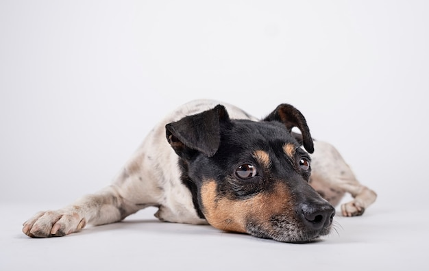 Hond bewaarder liggen met trieste blik op witte achtergrond