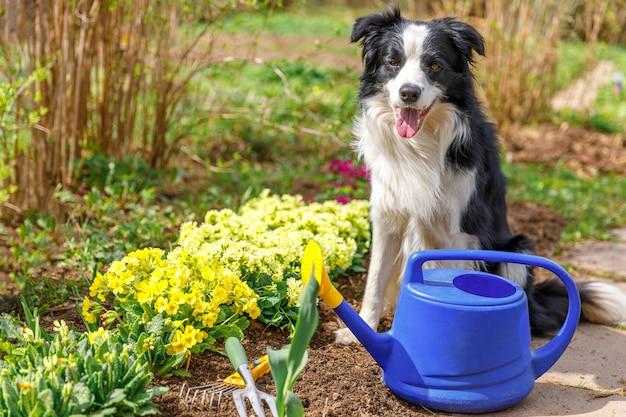 Hond border collie met gieter in de tuin. grappige puppy als tuinman die gieter haalt