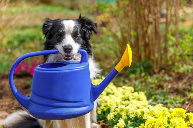 Hond border collie met gieter in mond op tuintafereel. grappige puppyhond als tuinman
