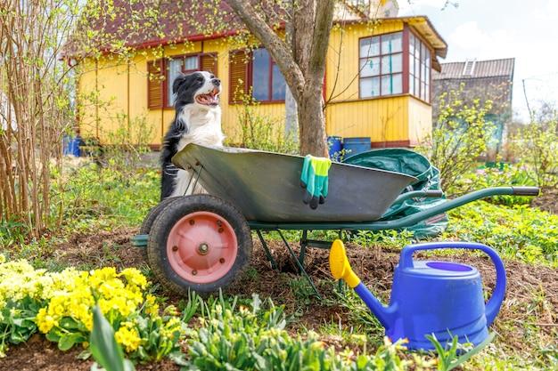 Hond border collie met kruiwagen tuinkar in tuinscène. grappige puppyhond als tuinman