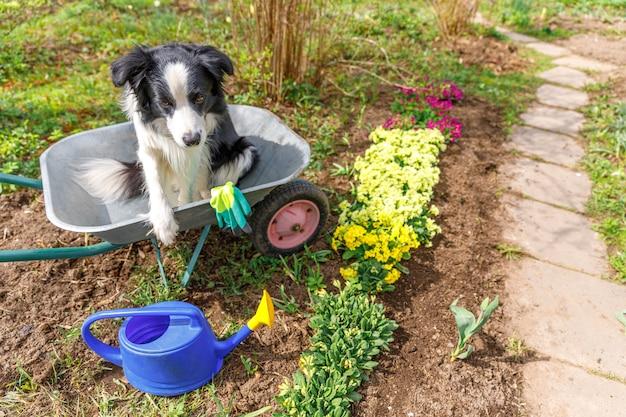 Hond border collie zitten in kruiwagen tuin kar in de tuin. puppy hondje als tuinman aan het planten