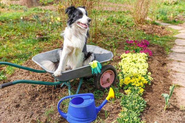 Hond border collie zittend in kruiwagen tuin kar in tuin scène puppy als tuinman planten