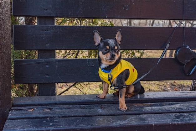 Hond chihuahua. honden uitlaten bij mooi weer. kleding voor honden. chihuahua hond in kleren voor een wandeling