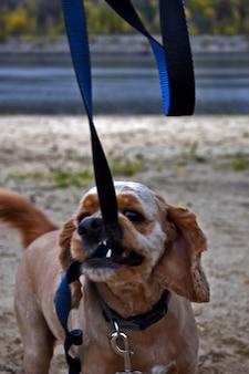 Hond cocker spaniel loopt op het strand