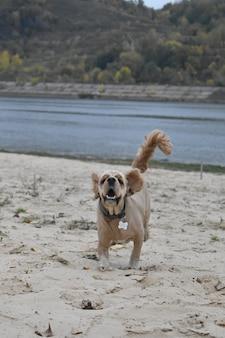 Hond cocker spaniel rent langs het strand