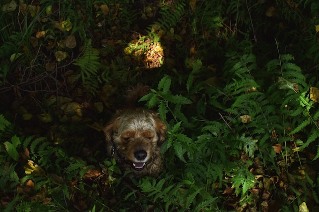Hond cocker spaniel zit in het gras