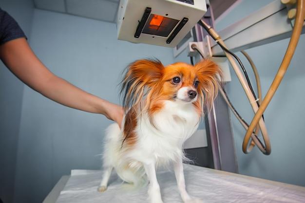 Hond die een röntgenstraal ontvangt bij een dierenkliniek. arts die hond in x-ray ruimte onderzoekt.