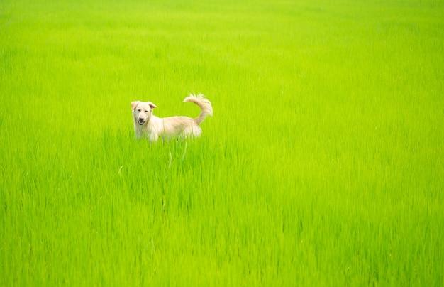 Hond die iets op groen rijstveld kijkt.