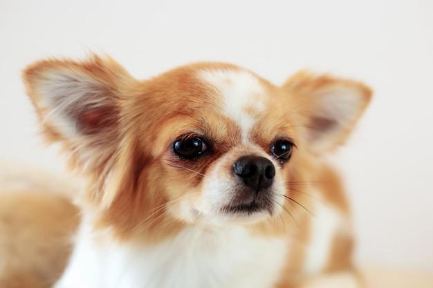 Hond die op witte achtergrond kijkt.