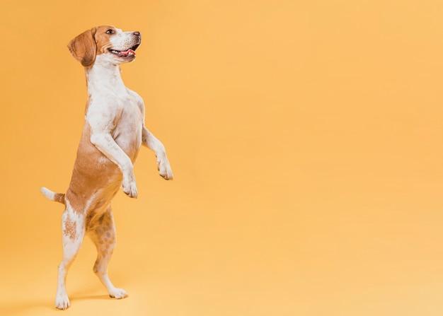 Hond die zich op achterste benen met exemplaarruimte bevindt