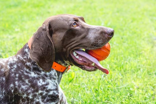 Hond duitse kortharige wijzer met bal in de tanden, close-upportret