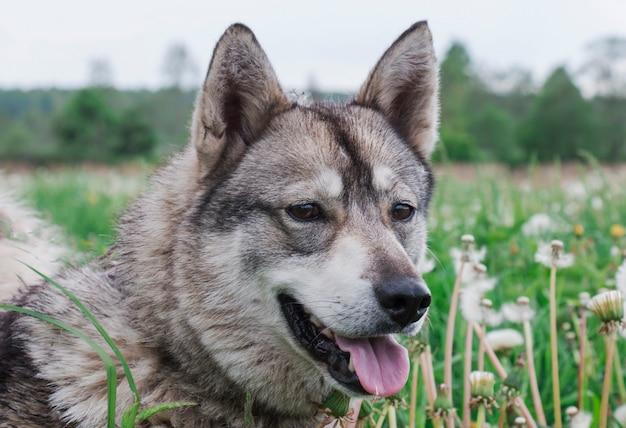 Hond een husky gaat wandelen op het veld