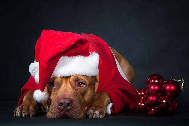 Hond, een pitbull in het kostuum van de kerstman, een hondjaar, kerstmisconcept.