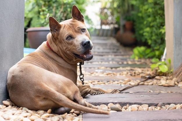 Hond geketend op loopmanier, blijf waakzame dief thuiskomen