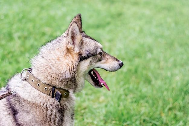 Hond grijze husky (laika) in profiel tegen een achtergrond van groen grass_