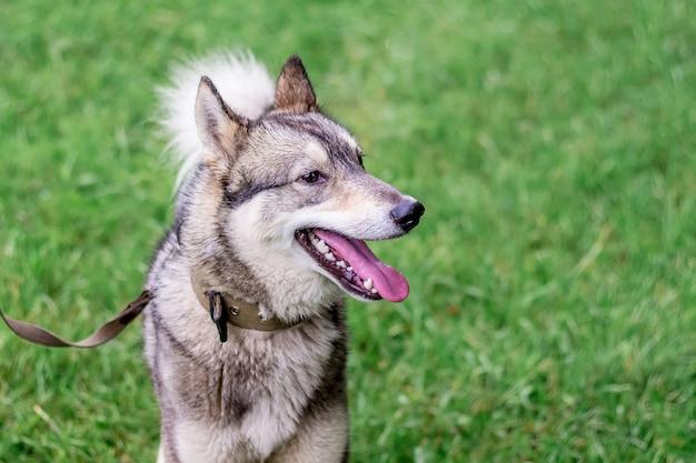 Hond grijze husky (laika) met een riem in profiel tegen een achtergrond van groen grass_