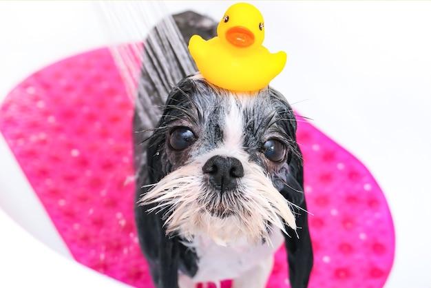 Hond in de trimsalon; de hond neemt een douche; het huisdier krijgt schoonheidsbehandelingen in de hondenschoonheidssalon. in de badkamer. eend op het hoofd